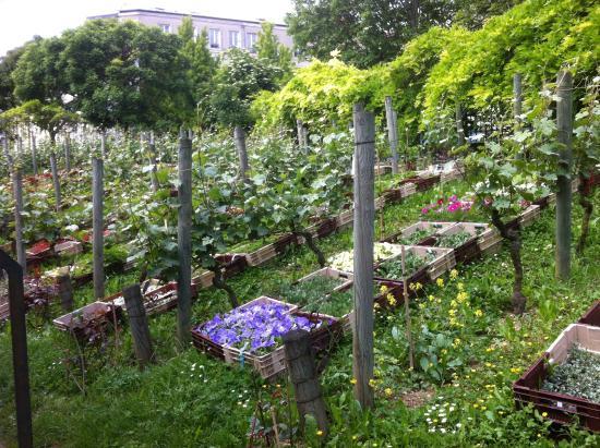 vignes parc-de-belleville